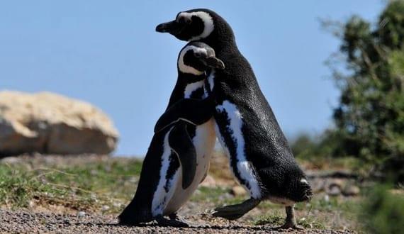 Pingüinos gays padres