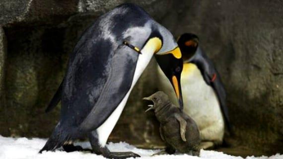 Pingüinos gays Dinamarca